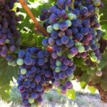 Merlot at Veraison